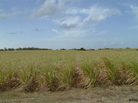 champ de canne a sucre